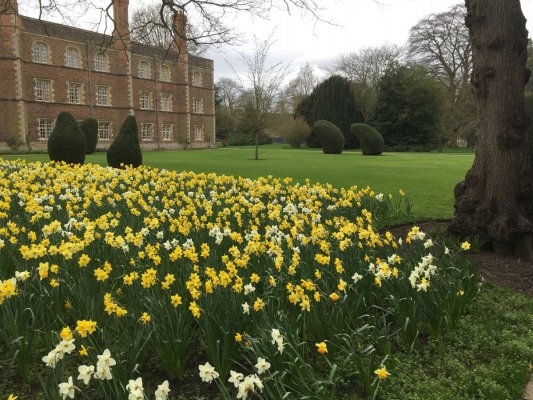 Daffodils in Second Court