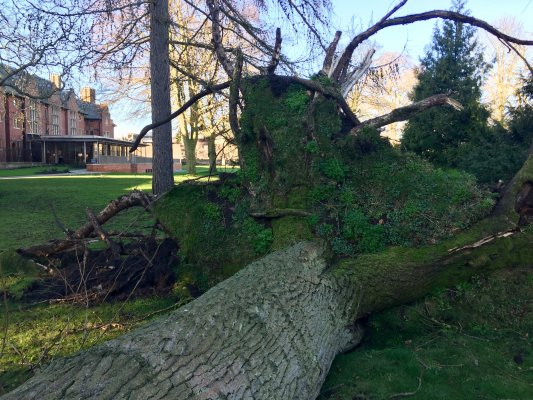 Base of upprooted tree with West Court buildings in the background
