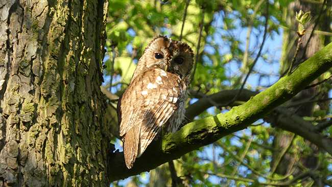 Image of An owl in a tree